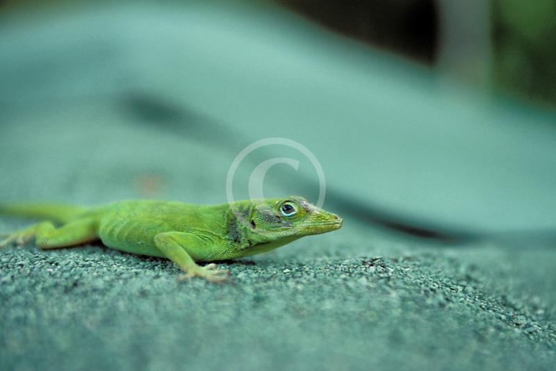 Puerto Rico, Anole lizard