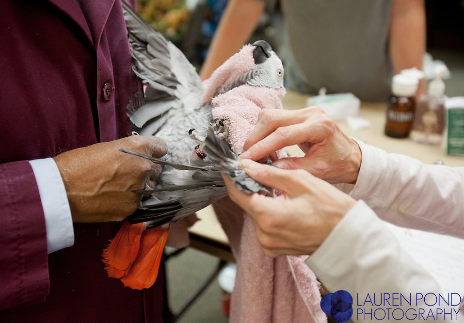 Avian vet Dr. Ram Mohan, of New Albany Ohio, and his assistant of about 20 years, Elise Robinson, of Columbus, treat African Grey parrots belonging to Jan Miller and Rene Beck, of Marietta, at a semiannual clinic in Marietta, Ohio, on Oct. 17, 2012.
