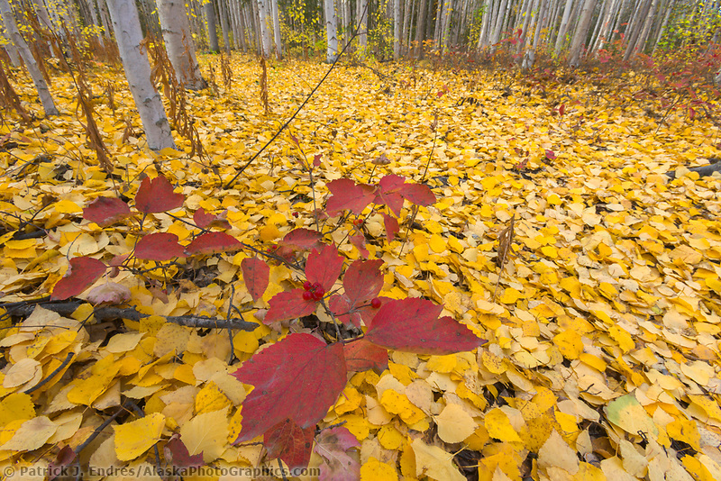 Highbush cranberry and birch leaves in boreal forest, Fairbanks, Alaska