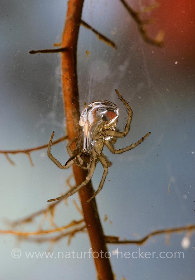 Wasserspinne, Wasser-Spinne, Silberspinne, Silber-Spinne, unter Wasser in ihrer Luftglocke, Taucherglocke, Argyroneta aquatica, diving bell spider, water spider, diving-bell-spider, water-spider