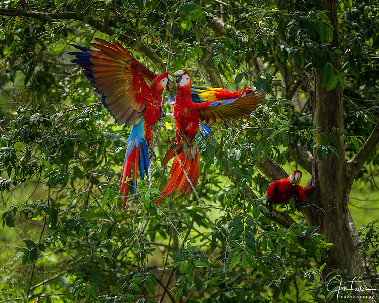 Two Scarlet Macaws, Ara macao, sparring in a tree in Costa Rica.