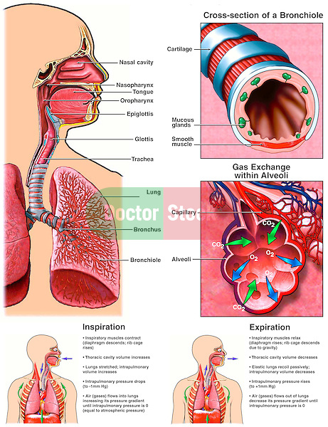 Accurately depicts the anatomy and physiology of the respiratory system. The first view shows all elements of the respiratory system, including the nasal cavity, nasopharynx, tongue, oropharynx, epiglottis, glottis, trachea, lung, bronchus and bronchiole.  This illustration includes an insert depicting a cross-section through the bronchiole and insert depicting gas exchange in an alveolus. Two inserts demonstrate and explain the physiology of inspiration and expiration...