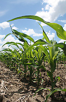Young Corn Plants in Row Against Blue Sky with Cumulus Clouds