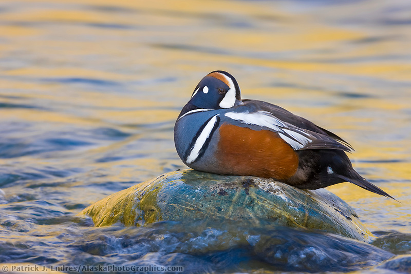 Drake (male) Harlequin duck in the headwaters of the Gulkana river, interior, Alaska