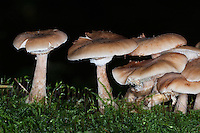 Gewöhnlicher Hallimasch, Dunkler Hallimasch, Halimasch, Honigpilz, Armillaria solidipes, Armillaria ostoyae, Armillariella polymyces, Dark Honey Fungus, honey mushroom