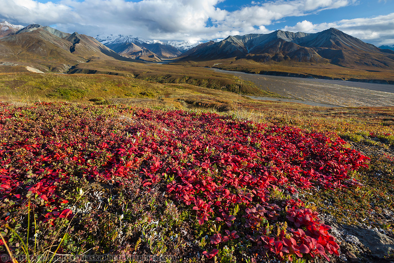 Arctic bearberry vegetation turns crimson red in autumn and decorates the tundra in Denali National Park, near Mt Eielson.