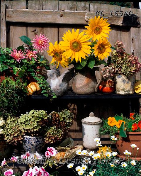Interlitho-Alberto, FLOWERS, BLUMEN, FLORES, photos+++++,sun flowers,KL16540,#f#, EVERYDAY