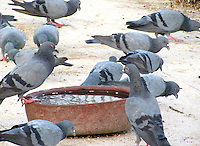 Group of pigeons feeding at a bird-feeder.