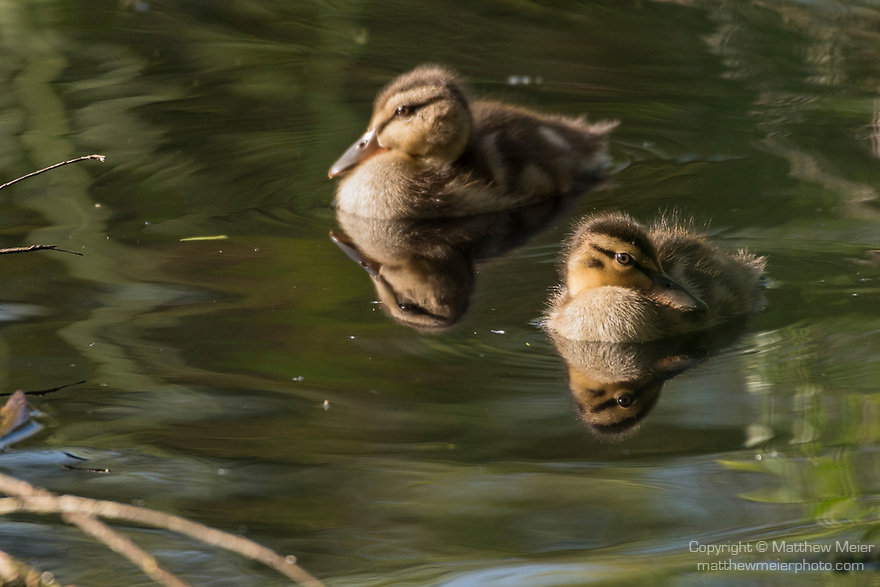 Rose Canyon, San Diego, California; a pair of baby Mallard ducks reflecting on the surface of the stream in late afternoon sunlight