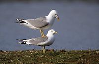 Sturmmöwe, Paar, Pärchen bei der Paarung, Kopula, Sturm-Möwe, Möwe, Sturmmöve, Larus canus, common gull