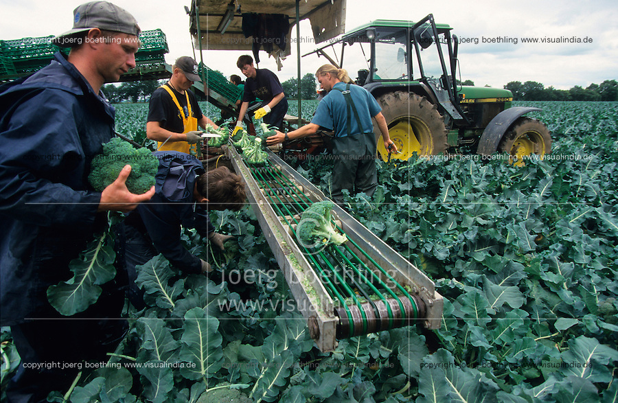 GERMANY, seasonal farm worker harvest brocoli at farm / DEUTSCHLAND Mecklenburg-Vorpommern, Erntehelfer ernten Brocoli Gemuese