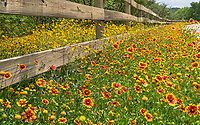 Indian blanket wildflowers with other yellow wildflowers possibly Damianta growing along a fence in the Texas Hill Country in the back roads in texas.  Wildflower grow in Texas through out the summer depending on the amount of rain they receive.  Indian blanket or firewheels seem to blanket the road here for a colorful display of reds and yellow along this wooden fence.