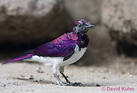 0728-1010  Southern Amethyst Starling (Violet-backed Starling), Sub-Saharan African Bird, Cinnyricinclus leucogaster  © David Kuhn/Dwight Kuhn Photography