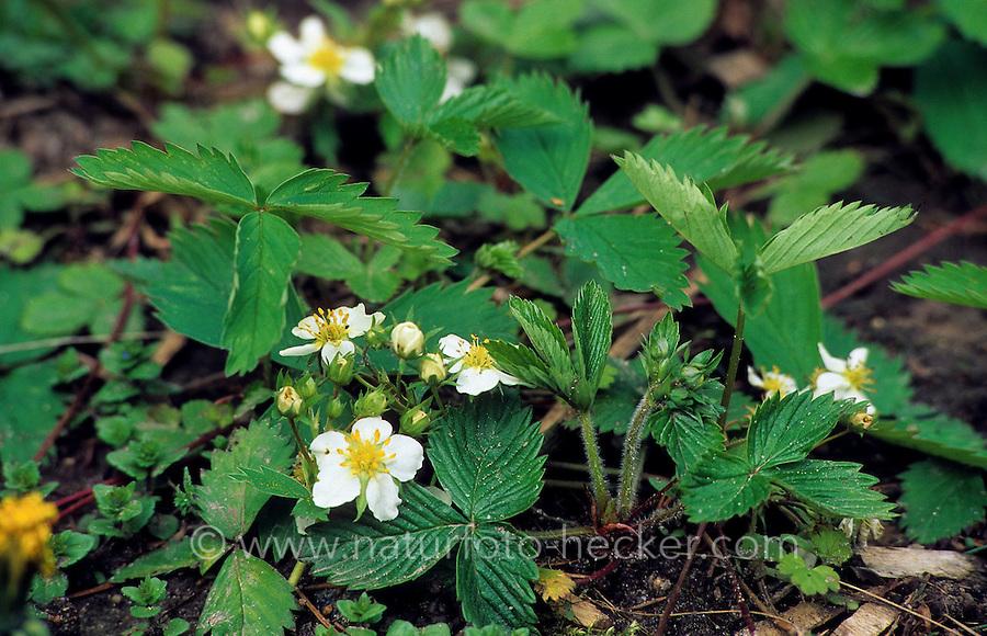 Wald-Erdbeere, Walderdbeere, Erdbeere, Fragaria vesca, Wild Strawberry