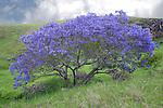 This jacaranda tree is in full bloom in the slopes of Haleakala. Maui, Hawaii.