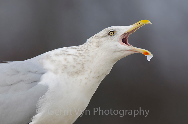 "Adult Herring Gull (Larus argentatus) in basic (winter) plumage vocalizing. Bird is producing the ""Long Call"", consisting of several repeated notes produced while bird lowers and then elevates head. This call is given in several contexts. In this case it was given after a bout of aggression. Tompkins County, New York. December."