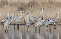 Sandhill Cranes (Grus canadensis) preparing to take off into flight from a pool of water