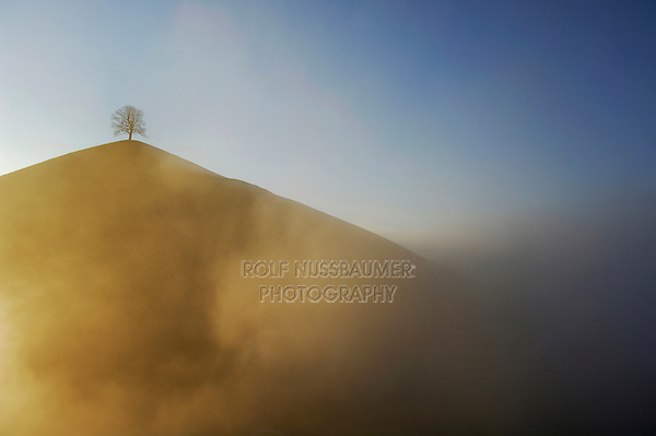 Linden tree (Tilia sp.),bare tree in winter during foggy sunrise, Switzerland