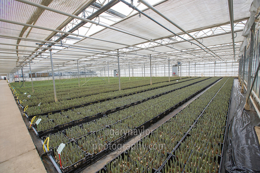 Forcing tulip bulbs in trays in a glasshouse - Lincolnshire, February
