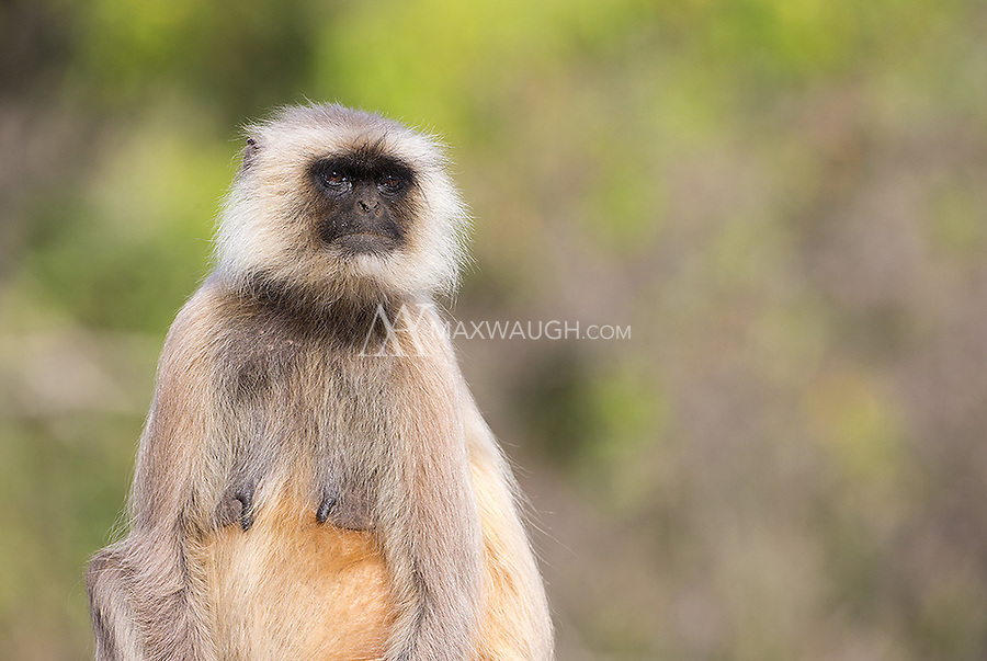 Gray langurs are the most common primate seen in many of India's tiger parks and reserves.