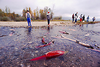 Annual Adams River Sockeye Salmon Run (Oncorhynchus nerka), Roderick Haig-Brown Provincial Park near Salmon Arm, BC, British Columbia, Canada - Tourists watching Fish returning to Spawn, Dead Salmon washed ashore