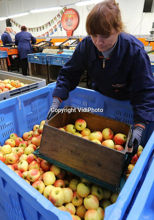 Foto VidiPhoto<br /> <br /> ECHTELD - De appels zijn nauwelijks geoogst of de Poolse werknemers van fruitteler Berend-Jan van Westreenen uit Echteld moeten maandag weer vol aan de bak. In Duitsland is op dit moment veel vraag naar de Hollandse Elstar, omdat de oogst daar mislukt is. Zo vlak voor Kerst is de vraag naar fruit extra groot. De prijzen die de telers op dit moment krijgen voor hun elstar appels, zijn dan ook prima.