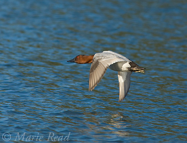 Canvasback (Aythya valisineria), male in flight, California, USA