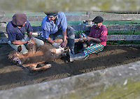 Gauchos, the Argentine version of cowboys,  castrate a calf during a yerra, an event organized every spring in every farm of the country  to castrate male animals born during winter.Gauchos roast and eat about 20 million calf's testicles every year in the believe this will improve their sexual performance.