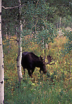 Spotted moose from the hiway while enroute from Yellowstone NP to Jackson Hole, WY.    Walked into the woods short ways with camera on a tripod to get several shots.