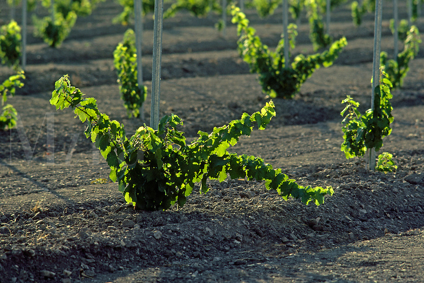 Rows of young GRAPE VINES at FIRESTONE VINEYARD - CALIFORNIA