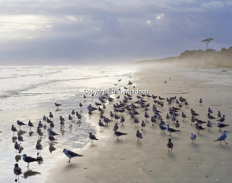 Seagulls on beach at waters edge on Hilton Head Island
