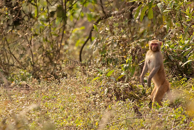 Kaziranga, India. Rhesus macaque standing up in the forest