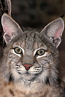 611009036 portrait of a wildlife rescue bobcat felis rufus at a wildlife rescue facility