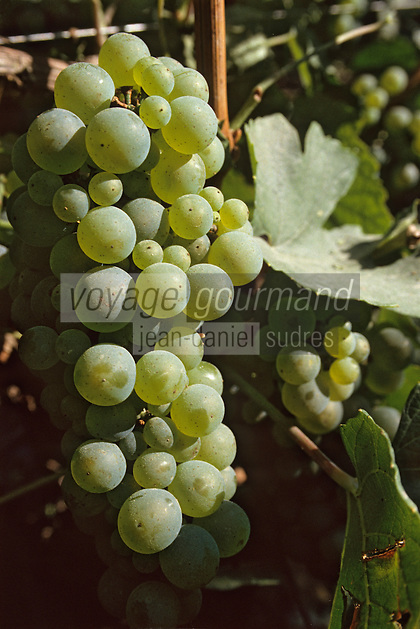 Europe/France/Champagne-Ardenne/51/Marne/Cramant: Côte de blancs - Vendanges MUMM - Cépage Chardonnay - Grappe de raisins blancs cépage chardonnay