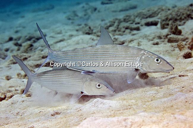 Albula vulpes, Bonefish, Bonaire