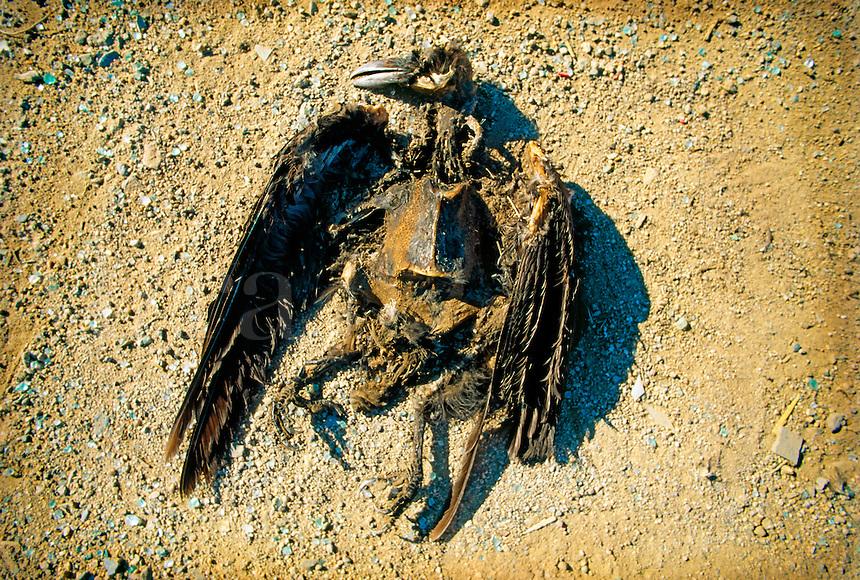 Decaying bird carcass.