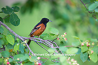 01618-01318 Orchard Oriole (Icterus spurius) male in serviceberry bush (Amelanchier canadeneis) Marion Co., IL