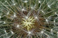 Löwenzahn, Wiesen-Löwenzahn, Samen, Früchte, Pusteblume, Taraxacum officinale, Taraxacum sect. Ruderalia, Dandelion