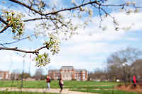 Pear blossoms with Drill Field and Lee Hall in background<br />  (photo by Beth Wynn / &copy; Mississippi State University)