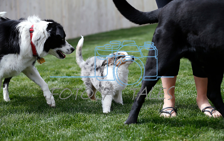 12-week-old Bleu visits in Gardnerville, Nev., on Sunday, May 18, 2019. <br /> Photo by Cathleen Allison/Nevada Momentum