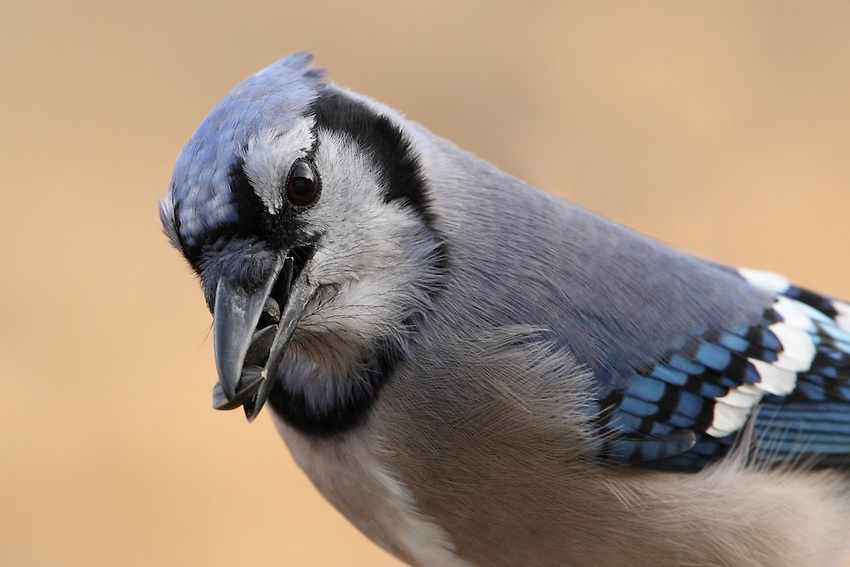 The Blue Jay stuffs food items in its throat pouch to cache elsewhere; when eating, holds a seed or nut in feet and pecks it open.