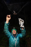Jesika Reimer, Assistant Zoologist at UAA's Alaska Center for Conservation Science (ACCS), retrieves a Little Brown Bat (Myotis lucifugus) from a mist net so it can be banded and radio tagged on Joint Base Elmendorf-Richardson (JBER) near Anchorage, Alaska. Researchers from ACCS and the Applied Environmental Research Center are working with DOD wildlife managers to determine where JBER bats roost and assess their potential vulnerability to white-nose syndrome. Photo by James R. Evans