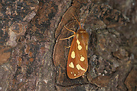 Hofdame, Hyphoraia aulica, Brown Tiger Moth, Noble Tiger, Ecaille noble, Petite Ecaille brune, Bärenspinner, Arctiidae, Arctiinae, erebid moths, erebid moth, woolly bears, woolly worms