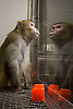 A male Rhesus monkey at the National Primate Research Center in Madison, Wisconsin. (EDS NOTE: The plexiglass cage, not the animal's normal cage, is used specifically for photographing and viewing the monkeys). Photo by Kevin J. Miyazaki/Redux