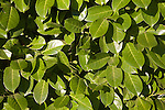 Laurel bush leaves close up
