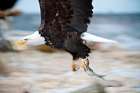 Bald eagles, Kachemak Bay, Alaska, USA