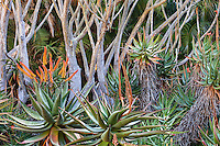 Orange flowering Flat-flowered Aloe (Aloe marlothii) succulent, in gardens at Lotusland under Aloe barberae, Tree Aloe