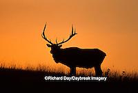 01980-007.19 Elk or Wapiti (Cervus elaphus) bull at sunset    MT