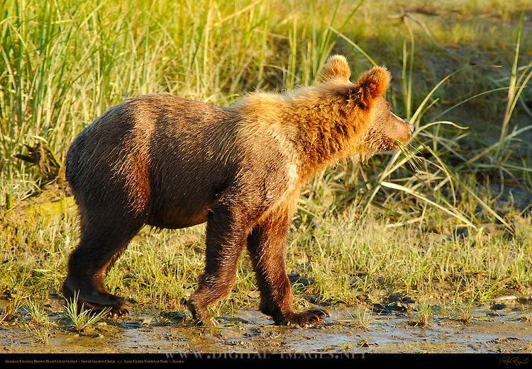 Alaskan Coastal Brown Bear Cub at Sunset, Silver Salmon Creek, Lake Clark National Park, Alaska