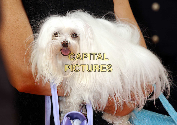 "DAME ELIZABETH TAYLOR's pet dog SUGAR.attends screening of ""Giant"" at Olympia cinema.for Aids charity AmFAR.Cannes Film Festival 2003.www.capitalpictures.com.sales@capitalpictures.com.©Capital Pictures"